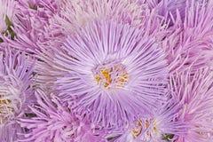 Fiori viola dell'aster Fotografie Stock