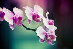 Fiori viola dell'orchidea Immagini Stock