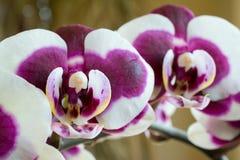 Fiori viola dell'orchidea fotografia stock