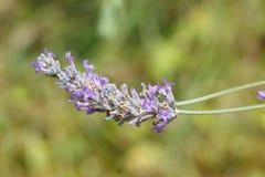 Fiori viola della lavanda Fotografie Stock Libere da Diritti