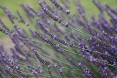 Fiori viola della lavanda in fioritura immagine stock libera da diritti