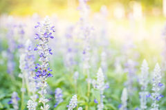 fiori viola della lavanda nel campo Fotografie Stock Libere da Diritti