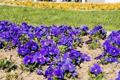Fiori viola della primavera nel parco Fotografia Stock Libera da Diritti
