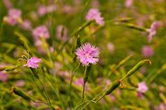Fiori viola di estate sul prato Fotografia Stock Libera da Diritti