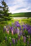 Fiori viola e dentellare del lupino del giardino Fotografia Stock Libera da Diritti