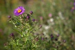 Fiori viola e gialli Fotografia Stock