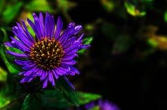 Fiori viola e gialli Immagini Stock Libere da Diritti