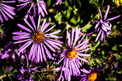 Fiori viola e gialli Immagine Stock
