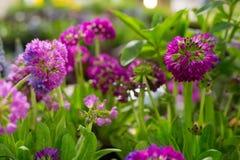 Fiori viola e porpora della primula Immagini Stock
