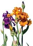 Fiori viola ed arancioni dell'iride Fotografia Stock Libera da Diritti