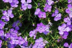 Fiori viola in giardino Fotografia Stock Libera da Diritti