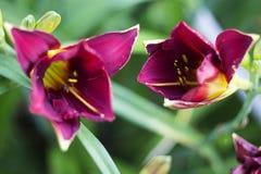 Fiori viola luminosi un fiore di 2 porpore su un fondo verde Pianta di fioritura Fotografia Stock