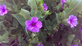 Fiori viola molto piccoli immagini stock