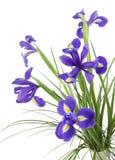 Fiori viola scuri dell'iride Fotografia Stock Libera da Diritti
