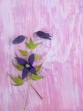 Fiori viola scuri di alpina della clematide Fotografia Stock