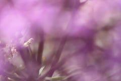 Fiori viola su fondo vago con boke Fotografie Stock Libere da Diritti