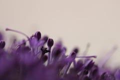 Fiori viola su fondo vago con boke Fotografia Stock Libera da Diritti