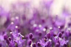 Fiori viola su fondo vago con boke Fotografie Stock