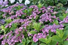 Fiori viola in un giardino fotografia stock
