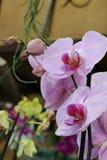 Fiori viola variopinti dell'orchidea Fotografia Stock
