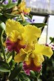 Fiori viola variopinti dell'orchidea Fotografie Stock Libere da Diritti