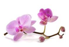 Fiori viola variopinti dell'orchidea Bello fondo floreale del fondo… con i fiori variopinti Immagine Stock