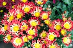 fiorisca in giardino, bei fiori variopinti che si sono sviluppati con il naturale Immagini Stock Libere da Diritti