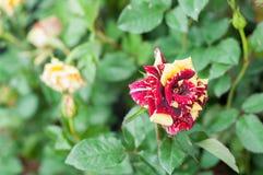 fiorisca in giardino, bei fiori variopinti che si sono sviluppati con il naturale Fotografia Stock Libera da Diritti