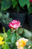 fiorisca in giardino, bei fiori variopinti che si sono sviluppati con il naturale Fotografie Stock