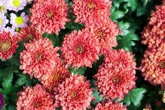 fiorisca in giardino, bei fiori variopinti che si sono sviluppati con il naturale Immagine Stock Libera da Diritti
