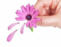 Fiorisca i petali caduti osteospermum in primavera per la ragazza. Fotografie Stock