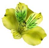 Fiorisca il alstroemeria giallo su un fondo isolato bianco con il percorso di ritaglio closeup Nessun ombre Per il disegno Fotografia Stock Libera da Diritti