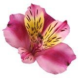 Fiorisca il alstroemeria rosa-giallo su un fondo isolato bianco con il percorso di ritaglio closeup Nessun ombre Per il disegno Immagini Stock Libere da Diritti