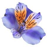 Fiorisca il alstroemeria viola-arancio su un fondo isolato bianco con il percorso di ritaglio closeup Nessun ombre Per il disegno Immagini Stock