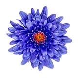 Fiorisca il crisantemo blu con una tonalità arancio rossa dentro, isolato su fondo bianco Fine del germoglio di fiore in su Immagini Stock Libere da Diritti