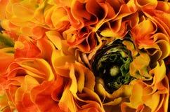 Fiorisca il fondo, macro dei petali arancio, gialli, verdi Fotografia Stock Libera da Diritti