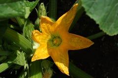 Fiorisca il primo piano arancio dello zucchini nei verdi del giardino fotografie stock libere da diritti