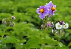 Fiorisca l'estate di fioritura arancio di stagione del germoglio del giardino di giallo della molla della natura delle patate del Immagine Stock Libera da Diritti