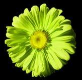 Fiorisca la camomilla verde chiaro su fondo isolato il nero con il percorso di ritaglio Margherita giallo verde con le goccioline Fotografia Stock