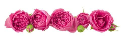 Fiorisca la corona delle teste rosa e dei germogli isolati su bianco Fotografia Stock