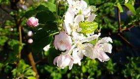 Fiorisca la fioritura di fioritura della ciliegia su un movimento lento del ramo video d archivio