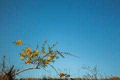 Fiorisca la luce blu di mattina della buganvillea a Surat Tailandia fotografie stock libere da diritti