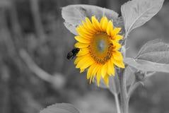 Fiorisca la pianta della fioritura del campo del giardino dell'estate del fondo di giallo della vespa del girasole Fotografia Stock Libera da Diritti