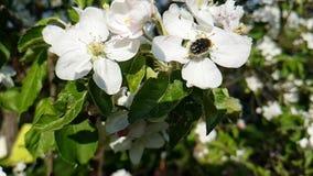 Fiorisca la stagione di fioritura della fioritura della ciliegia su un movimento lento del ramo stock footage
