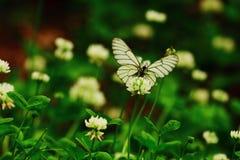 Fiorisce farfalle del elf Fotografia Stock