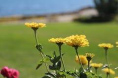 Fiorisce giallo arancione Fotografie Stock Libere da Diritti
