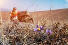 Fiorisce i bucaneve sull'erba asciutta sui precedenti della persona Immagine Stock Libera da Diritti