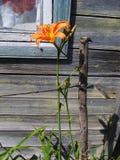Fiorisce i gigli arancio in fioritura Fotografia Stock Libera da Diritti