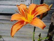 Fiorisce i gigli arancio in fioritura Fotografia Stock