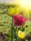 Fiorisce i tulipani Immagini Stock Libere da Diritti